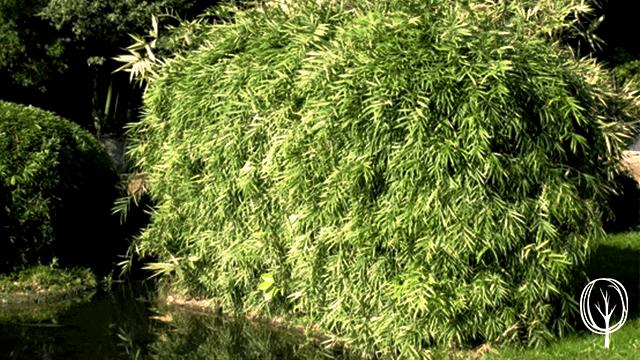 Bambus Sichtschutz - baumfrei.de - Bambusplfanze - Beitragsbild