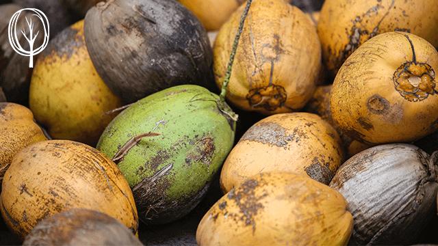 Grüne Kokosnüsse - Pia Brouwers - baumfrei.de - BB1
