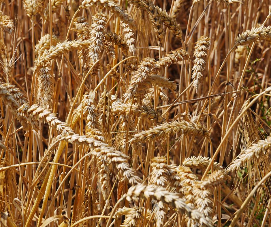 Gluten Fleischersatz Weizen baumfrei